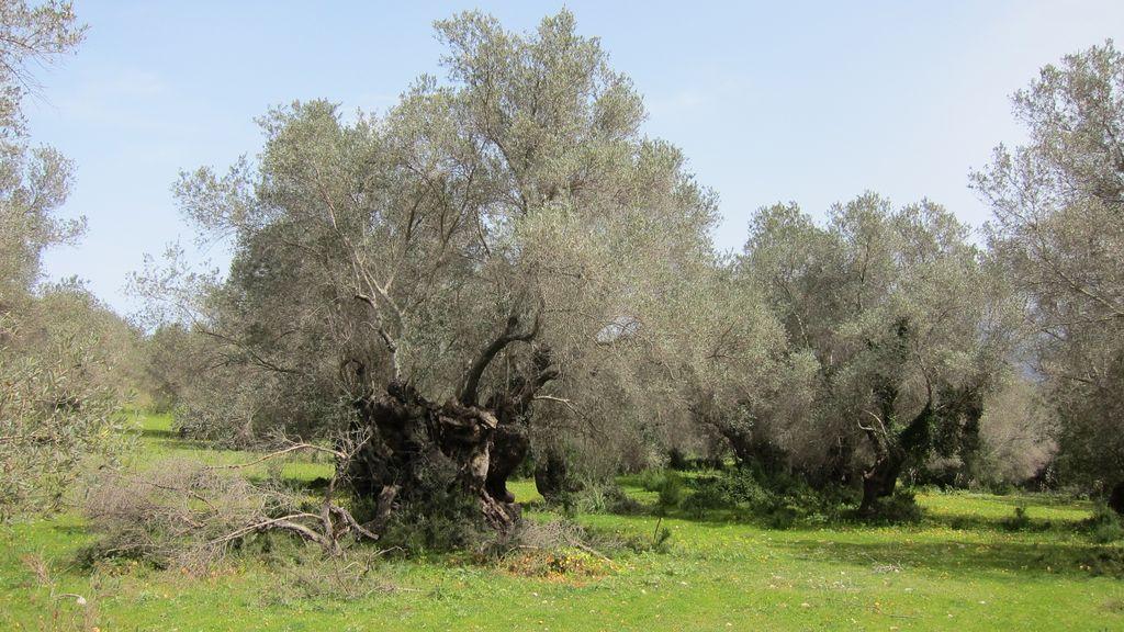 Mallorca Olivenhain