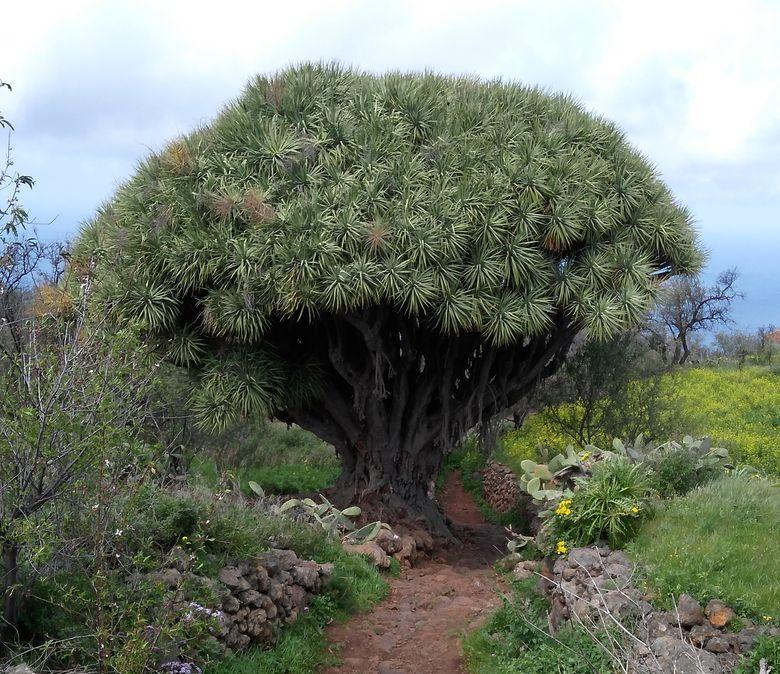 Dračí strom na kanárskom ostrove La Palma